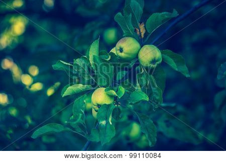 Vintage Photo Of Young Green Apples