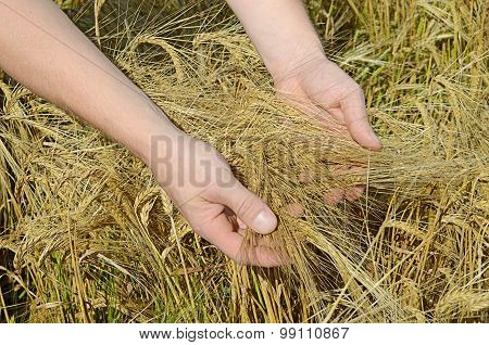 Rye Ears In Man's Hands