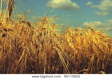 Field With Ripened Rye Against The Sky