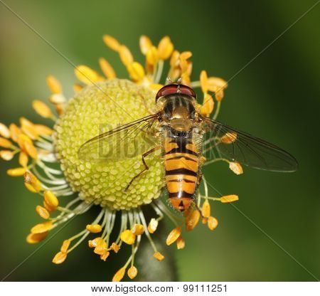 hover fly on a flower head