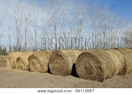 Hay for cattle