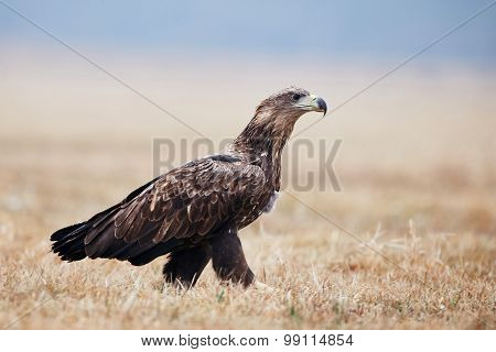 White-tailed Sea Eagle On The Ground