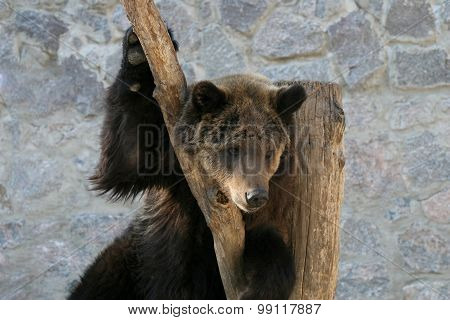 Brown Bear Clinging To A Tree Trunk