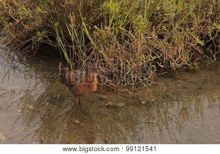 Clapper rail shorebird, Rallus longirostris