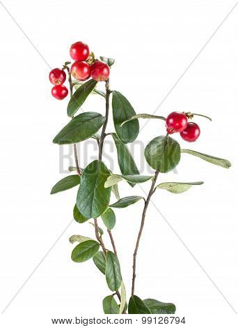 Ripe Cowberry