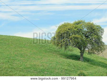 A single oak tree in a beautiful nature landscape.