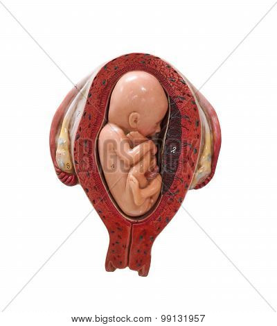 fetus development model