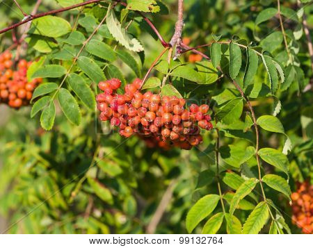Mountain Ash, Sorbus Tree With Ripe Berries, Macro