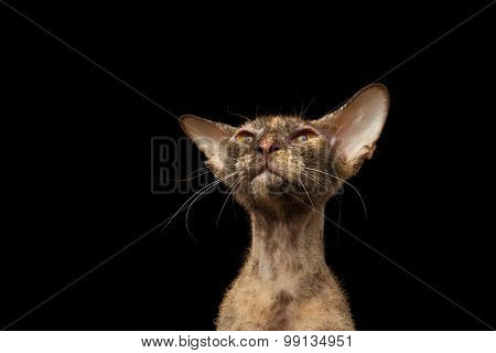 Closeup Peterbald Sphynx Cat Curiosity Looking On Black