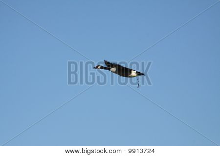 Canada Goose (in flight)