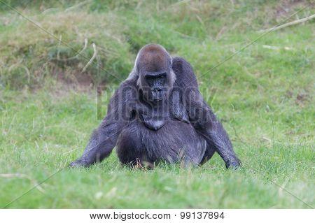 Adult Gorilla Resting