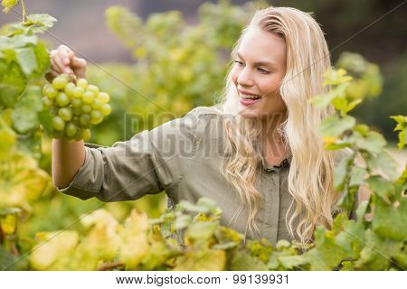 Smiling blonde winegrower holding a grape in a vineyard