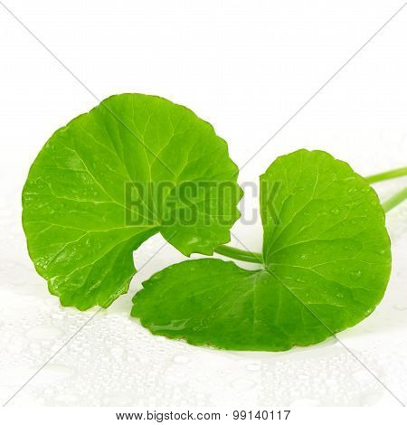 Indian Pennywort (centella Asiatica (l.) Urban.) Brain Tonic Her