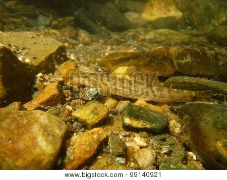Stone Loach