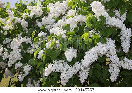 Summer Lilac Garden Latvia