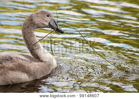 Mute Swan cygnet with eel grass