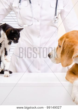 Meeting of dog with a kitten at the vet