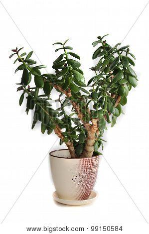 Crassula plant (money-tree)