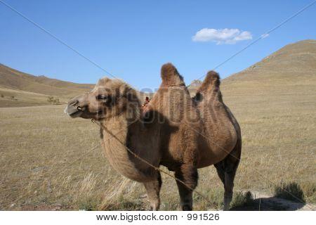 Kamel In den Schritten der Mongolei
