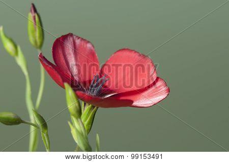 Flax (linum Grandiflorum) Flowers