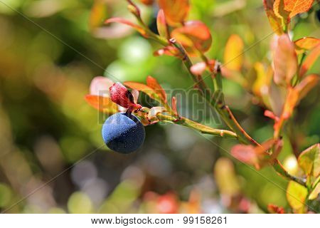 Single Bilberry Or Vaccinium Myrtillus