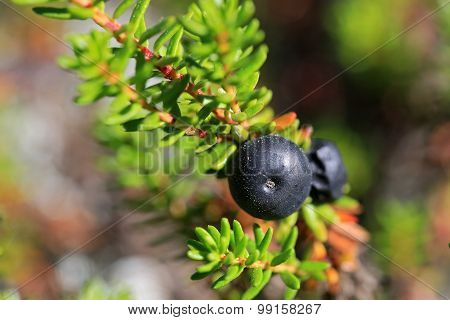 Black Crowberry, Empetrum Nigrum