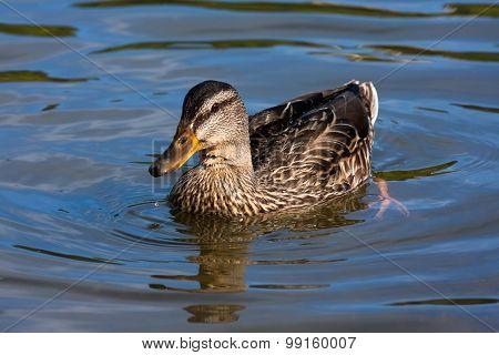 Mallard On The Water