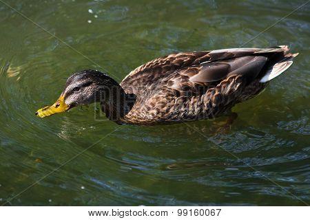Swimming Wild Duck