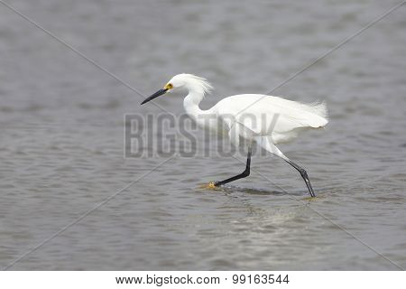 Snowy Egret In Breeding Plumage Foraging In A Shallow Bay