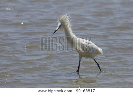 White Color Morph of Reddish Egret in Breeding Plumage