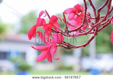 Temple Red Flower