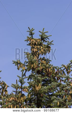 Spruce with brown and green cones