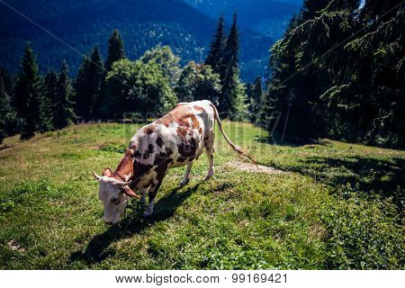 Cow on a mountain in Romania, shallow dof,shot at 1.4 with Sigma 35 Art