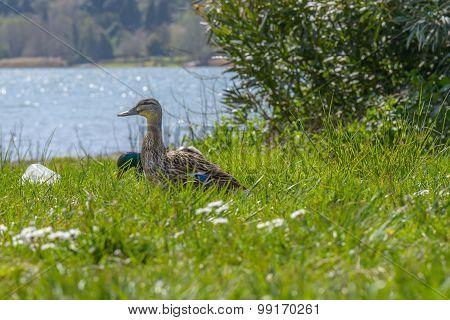 Duck In A Garden
