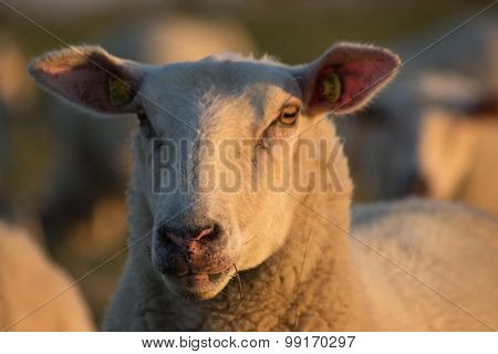 Sheep head from the front