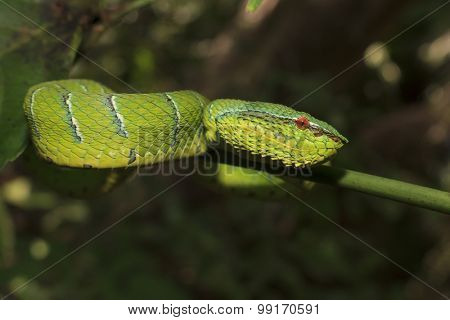 Waglers Pit Viper, a green tree snake from Borneo, Malaysia