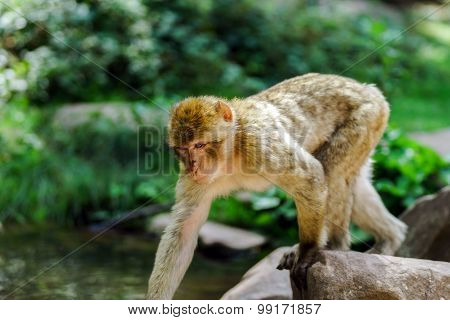 Beautiful Macaco Monkeys In The Forest