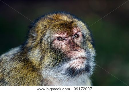 Emotional Close-up Portrait Of Mocaco Monkey