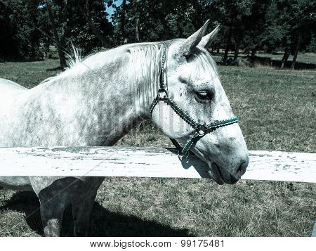 Portrait of Lipizzaner stallion