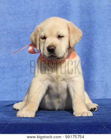 Labrador Cute Puppy On The Blue Background
