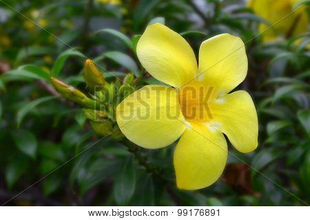 Desert rose, Impala lily, yellow flower