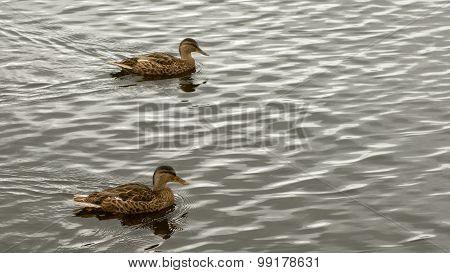 Two Mallard wild ducks swiming.