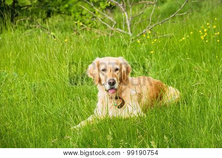 Golden Retriever Relaxing in a Green Grass