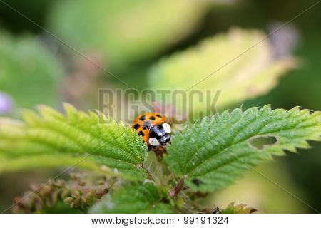 Hiding Ladybird