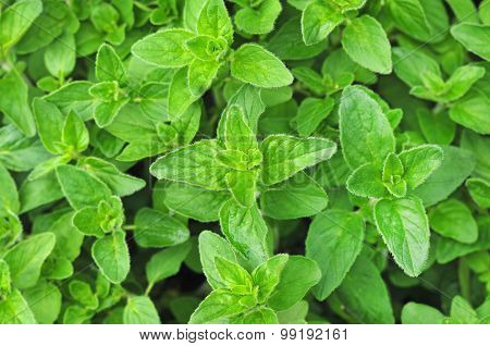 Fresh growing oregano