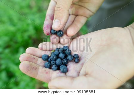 Ripe Freshly Picked Wild Blueberries In Woman's Hands