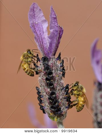 Two bees and lavender
