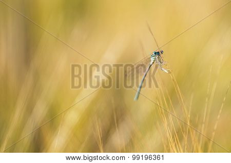 Damselfly In Barley