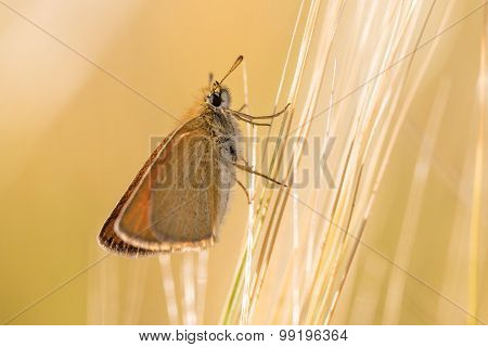 Moth On Barley