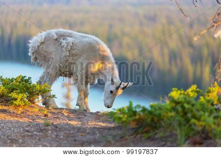 Wild Mountain Goat, Banff National Park Alberta Canada